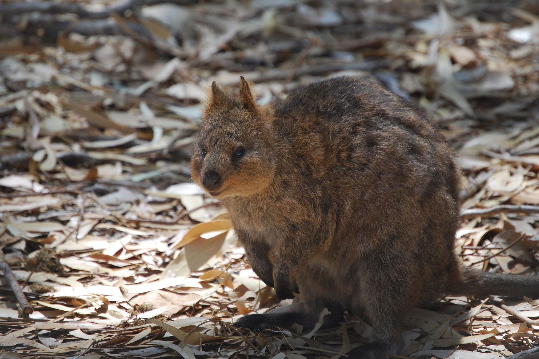 http://60%20Minutes%20From%20Perth%20Quokka%20714034%201920